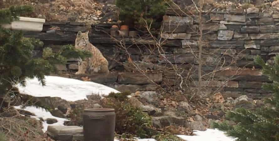 A bobcat visits a back garden rockery in Calgary, Canada.