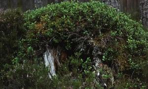 Chrystel Lebas's 2012 shot of V. vitis-idaea in Rothiemurchus Forest, Aviemore.