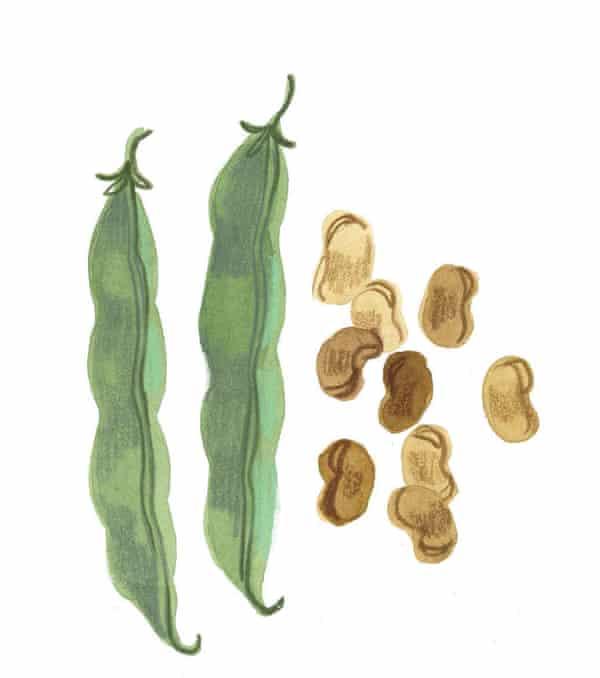 Illustration de graines de fève