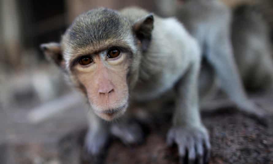 A long-tailed macaque, one of the most common monkeys used for research into infections diseases or psychology.