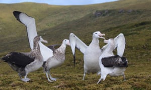 Tristan albatross birds on Gough Island in the south Atlantic Ocean.