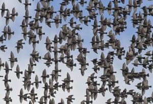 Countless starlings fly in the sky over the district of Uckermark in Brandenburg, Steinhöfel, Germany.