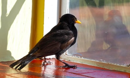 Blackbird on window sill