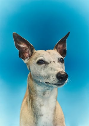 'Times are tough for freelance writers and I have decided my elderly whippet needs to start pulling his weight': Oscar.