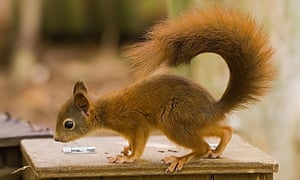 A red squirrel bred in Norfolk destined for the new colony near Bangor.
