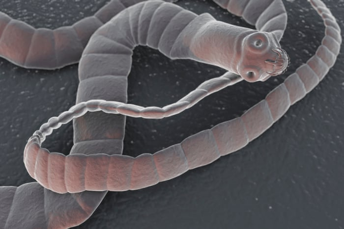 an overview of the species of tapeworms