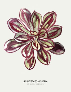 A PAINTED ECHEVERIA from the book Urban Botanics by Emma Sibley and illustrated by Maaike Koster.