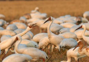 Migrating cranes frolic in a rice paddy in the Kangshan reclamation zone near Poyang Lake, in China's Jiangxi province, one of the birds' wintering habitats