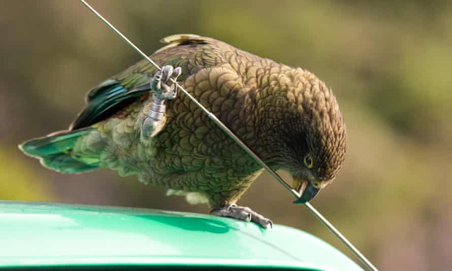 A kea in Arthur's Pass, New Zealand. Many local people consider them pests because of their habit of damaging cars and attacking sheep.