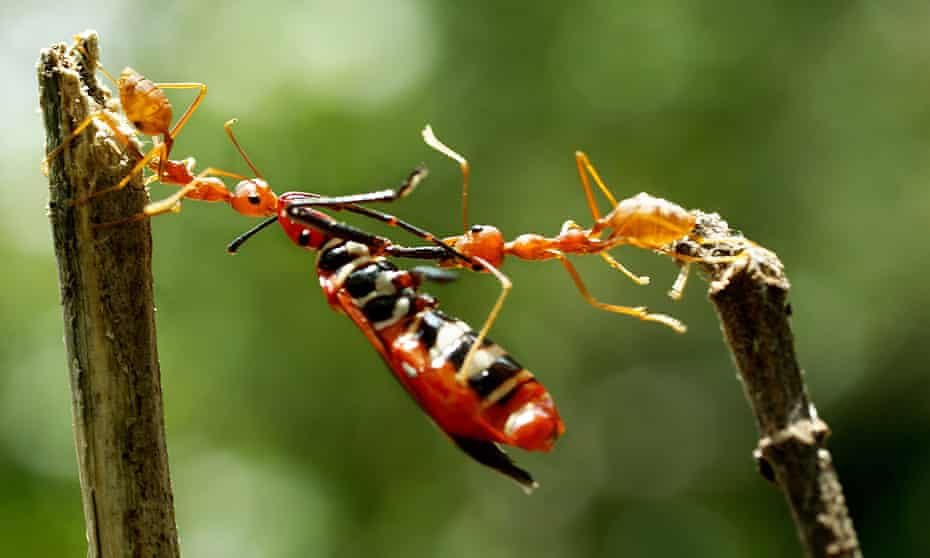 Ants collaborate to carry an insect far larger than themselves, Batam, Indonesia.