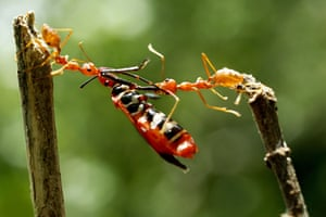Ants work together to carry away a larger insect in Batam, Indonesia