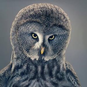 Grace, a great grey owl
