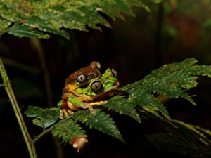 A mating pair of critically endangered Costa Rican lemur leaf frogs.
