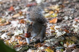 A squirrel picks up a conker in Royal Victoria Park, Bath, England