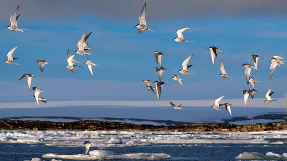 Arctic terns fly above the coastline of the Arctic Ocean, Norway.