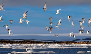 A flock of Arctic terns flying above the coastline of the Arctic Ocean, Norway, Svalbard.