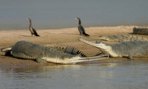 Gharials on a sandbank along India's Chambal river