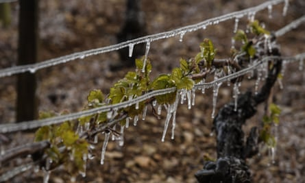Vines hit by frost in Chablis, northern France, in April.