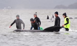 Members of a rescue crew stand with a whale on a sand bar near Strahan.