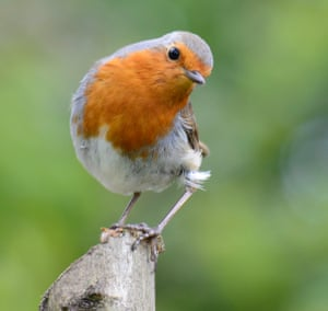 The much-loved European robin.