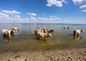 Cows cool down in the Volga River near the Aleksandrovsky Graben natural landmark. Russia has been experiencing a heatwave in recent weeks