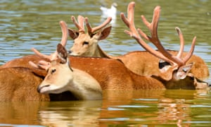 Deer seen cooling themselves in a lake at Whipsnade Zoo.