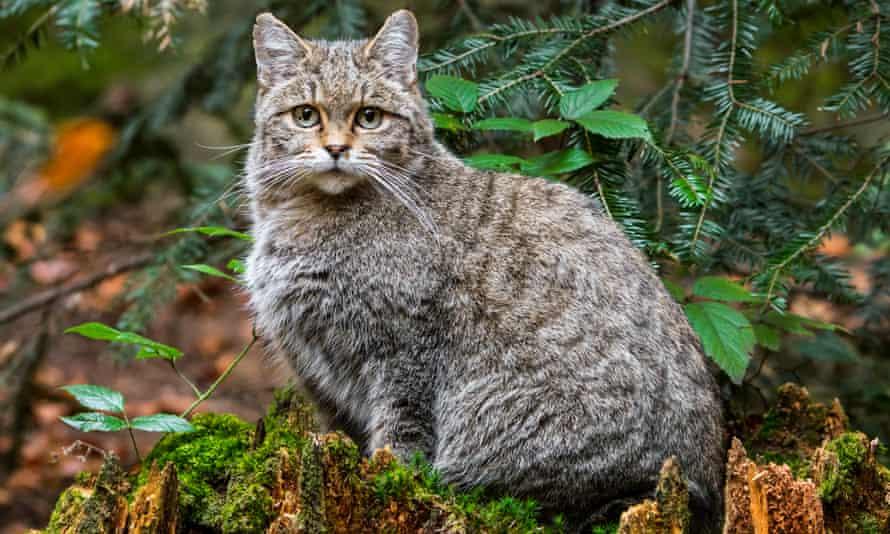 A European wildcat sitting on a tree stump.