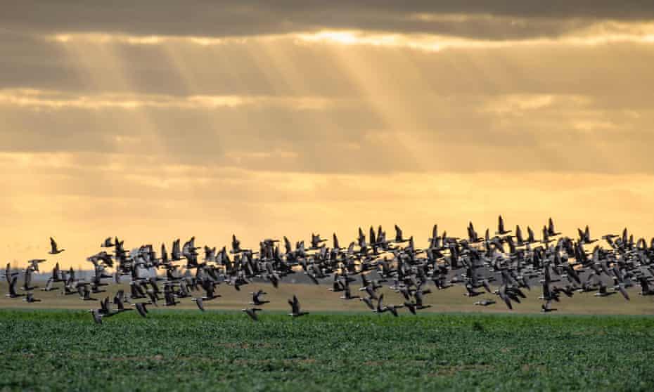 Dark-bellied brent geese (Branta bernicla) taking flight from grazing field, Wallasea Island, Essex, England, UK.