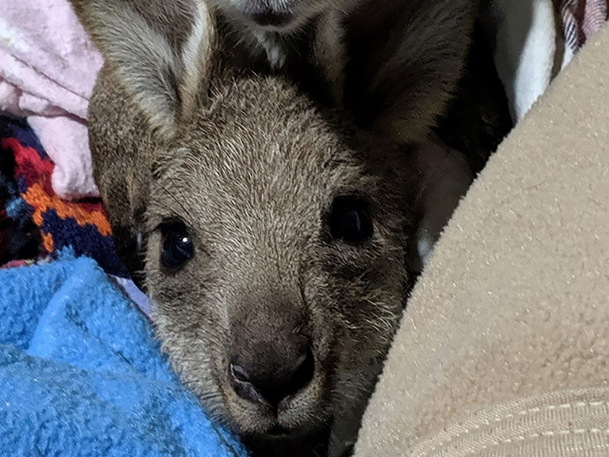 Man, 19, charged with allegedly killing 20 kangaroos with his ute on NSW  south coast   Crime - Australia   The Guardian