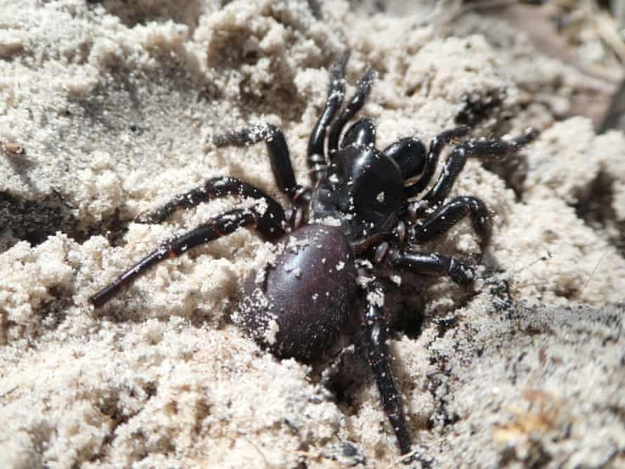 The Fraser Island funnel-web spider