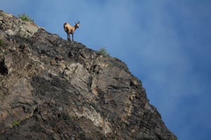 A chamois stands on a slope at Krasnaya Polyana in Sochi, Russia.