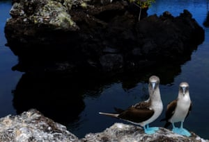 A pair of blue-footed boobies on Isabela Island at the Galápagos national park, Ecuador