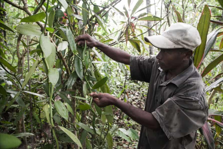 A vanilla farmer in the district of Sambava, Madagascar
