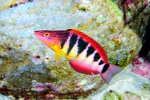 Approximately one-quarter of all fishes swimming in Rapa Nui are endemic, like the Pseudolabrus semifasciatus.