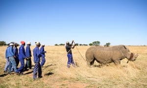 A blindfolded white rhino fights the effects of a tranquiliser dart.