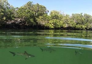 A hammerhead shark nursery, which was recently discovered in Santa Cruz, Galapagos Islands, Ecuador.