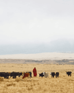 People from the Maasai villages, Tanzania. Along the road to Ngorongoro, people from the Maasai villages (manyattas) can be seen in their distinctive clothes taking their cattle into the crater for water and grazing.