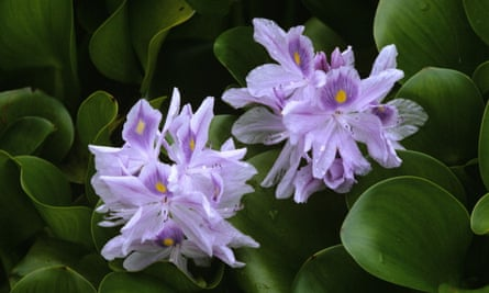 Water hyacinth flowers are native to South America but have appeared in Africa since the 1990s.