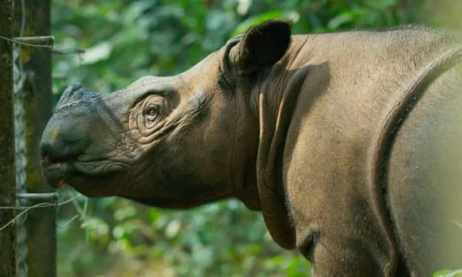 'They're shorter than me and a bit hairy' … a Sumatran rhino.