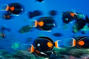 A large school of vividly marked Achilles Tang gather around to feed on plankton near Vostok Island, in the central South Pacific
