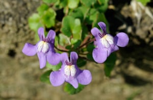 Ivy-leaved toadflax growing in the cracks of a wall