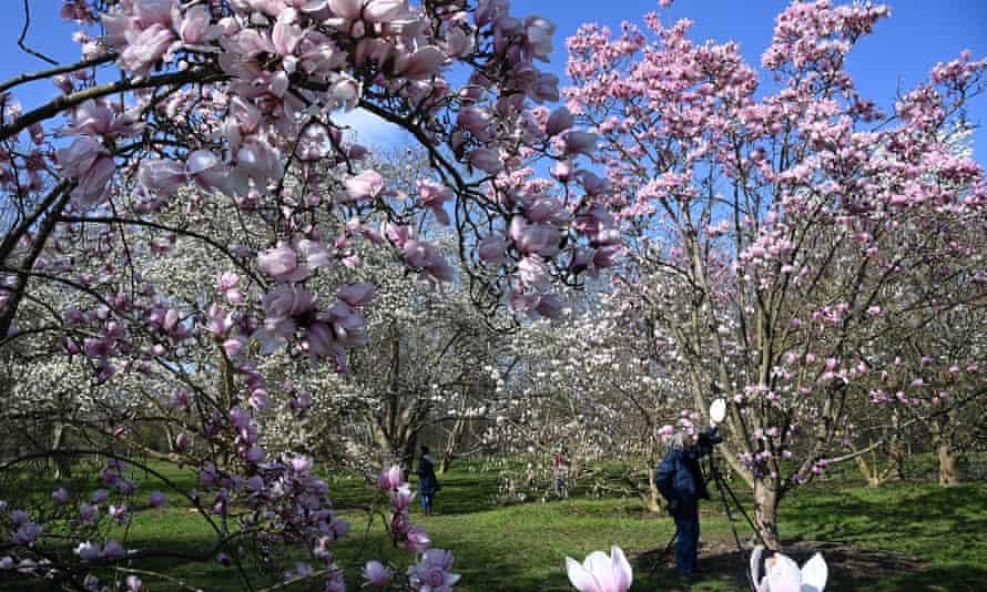 Visitors photograph Magnolia blossom at Royal Botanic Gardens, Kew, London