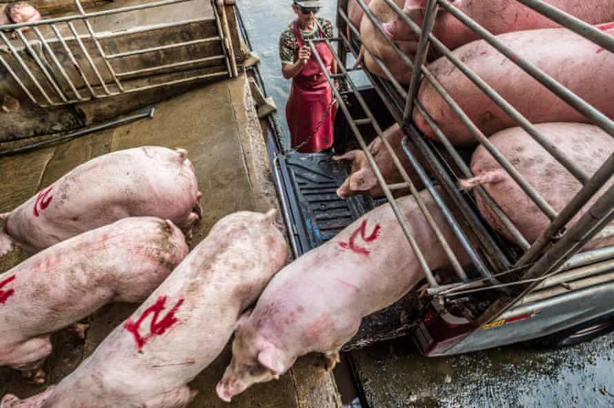 Pigs being transported to a Thai slaughterhouse