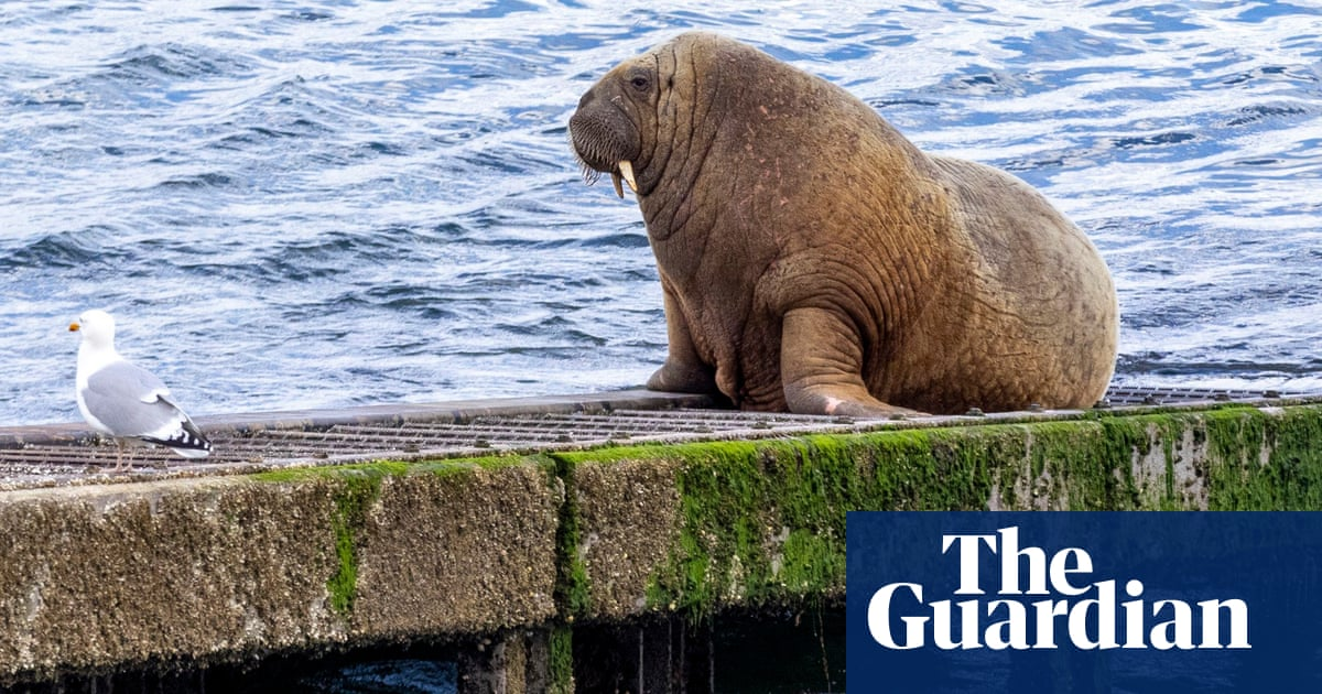 Tusk master: Wally the walrus departs Isles of Scilly and heads north