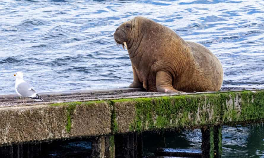 Wally the walrus, seen here on his recent visit to Tenby in Wales.