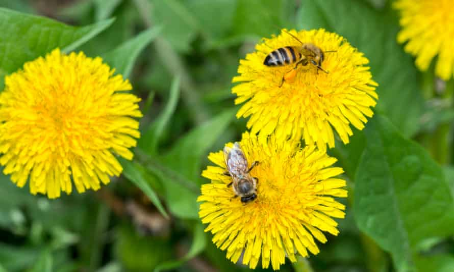 Two bees close up on dandelion