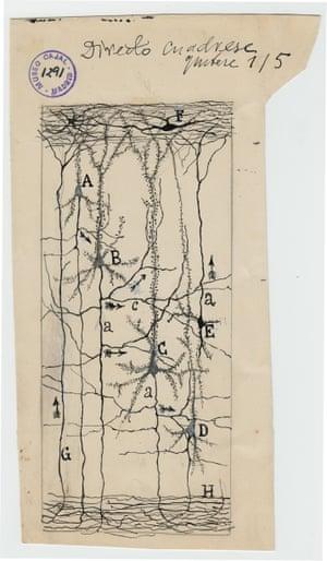 Neurons in the cerebral cortex
