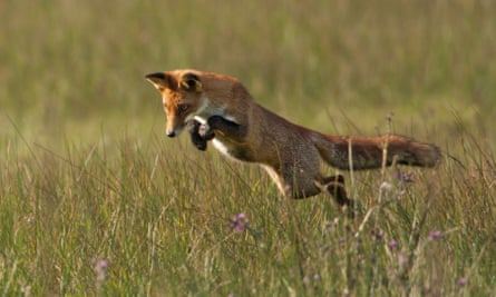 Intense concentration for a fox as it leaps to catch prey in a meadow.