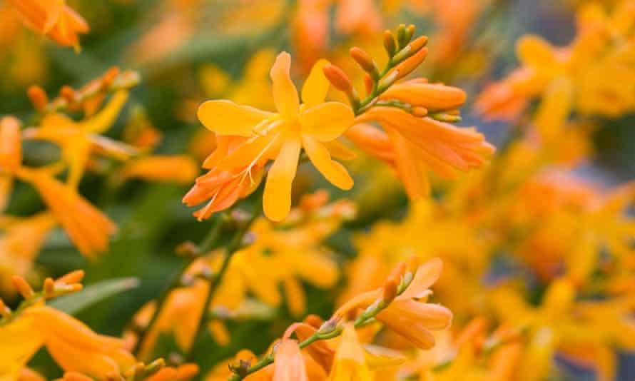 Bright stars: Crocosmia, a welcome late-summer perennial.
