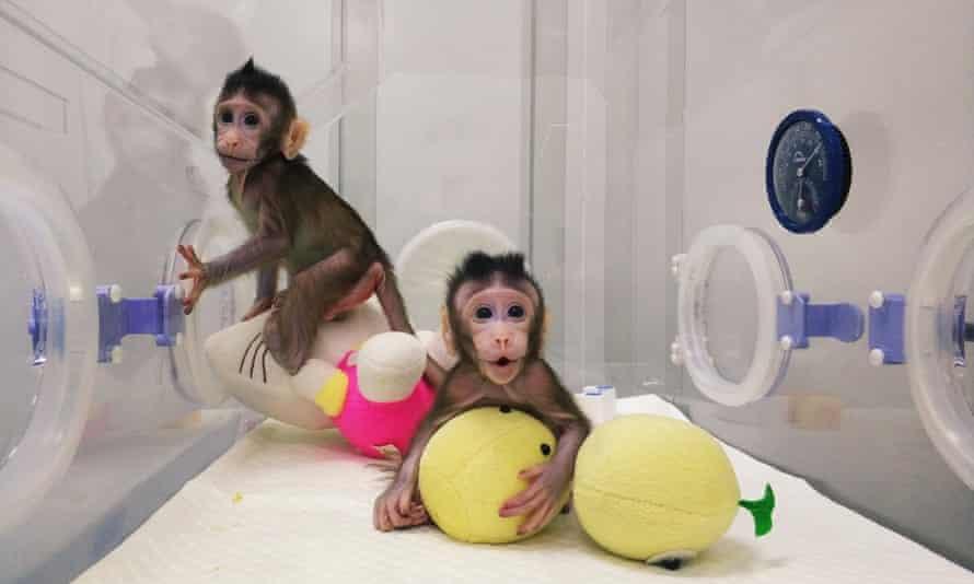 Cloned monkeys Zhong Zhong and Hua Hua.